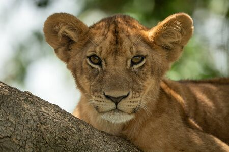 Close-up of lion cub lying on tree