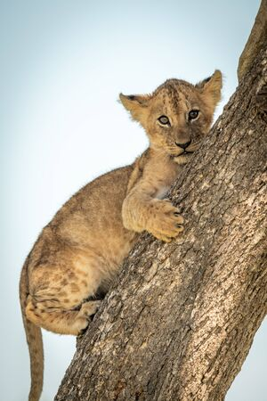 Close-up of lion cub on tree trunk