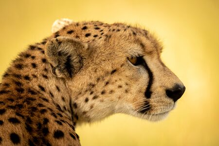 Close-up of female cheetah sitting turning head