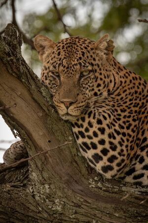 Close-up of leopard leaning on tree branch Stock Photo