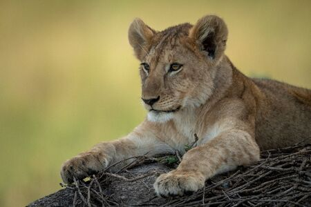Close-up of lion cub lying on rock Stock Photo