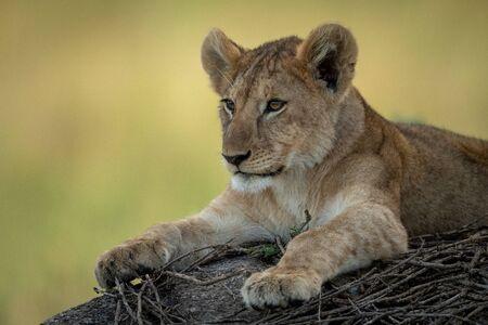 Primo piano del cucciolo di leone sdraiato su roccia