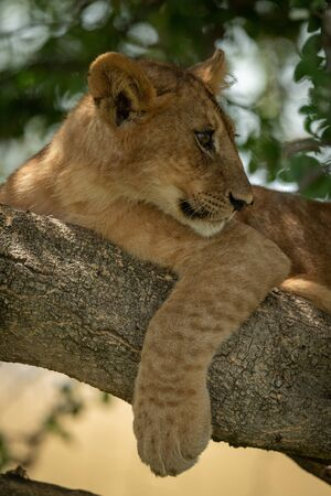 Close-up of lion cub in shady branches Stock Photo