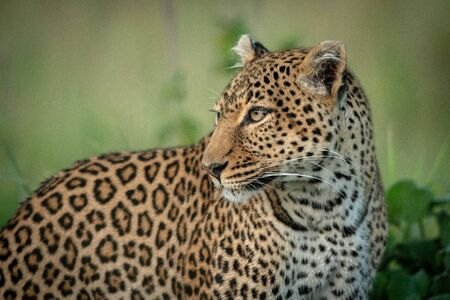 Close-up of leopard by bush turning head