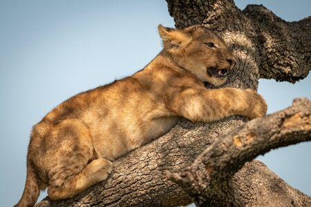 Close-up of lion cub hugging tree branch