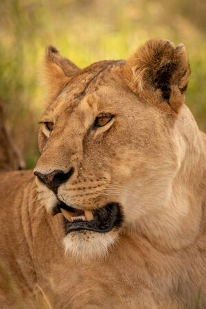 Close-up of lioness turning head in grass