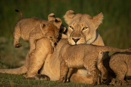 Close-up of lioness mobbed by three cubs Reklamní fotografie
