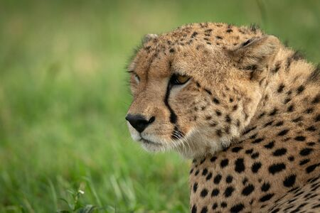 Close-up of male cheetah lying turning head