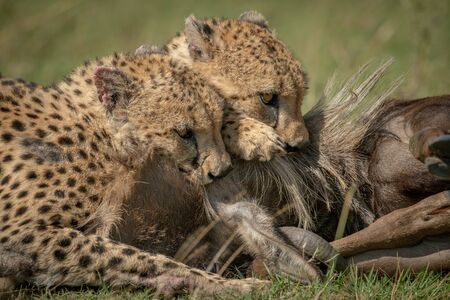 Close-up of two cheetah suffocating blue wildebeest Stockfoto
