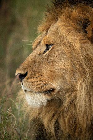 Close-up of male lion head turning left 版權商用圖片