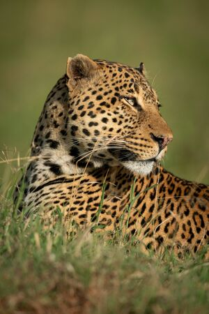 Close-up of male leopard turning head back