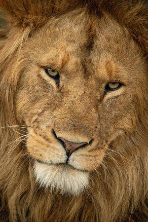 Close-up van mannelijke leeuw die serieus naar beneden kijkt