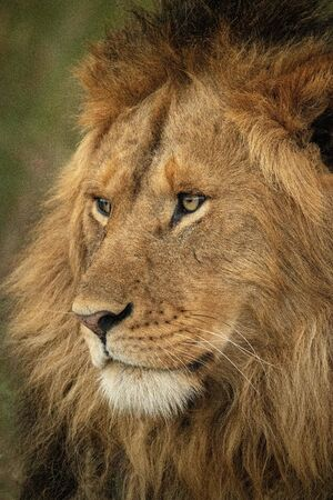 Close-up of male lion head facing left Stockfoto