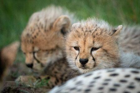Primo piano di due cuccioli sdraiati con ghepardo Archivio Fotografico