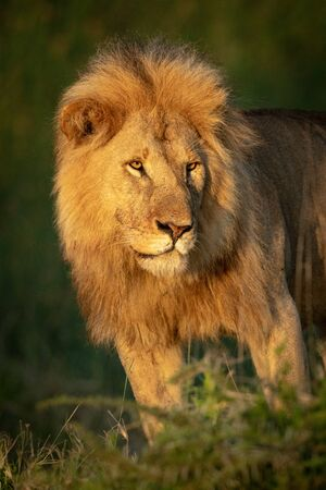 Close-up of male lion standing looking left