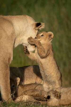 Cub stands on hindlegs to grab lioness