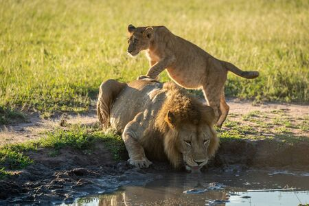 Cub stands on male lion drinking water