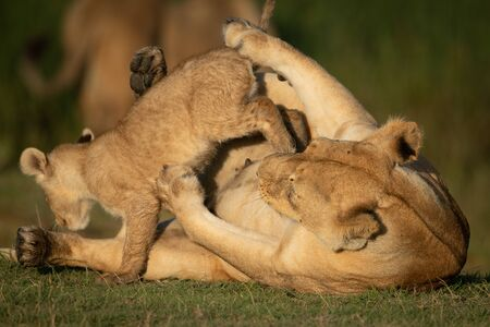Cub jumps over lioness lying on back Stock Photo