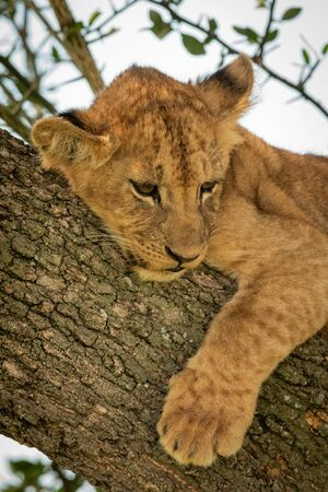 Close-up of young lion cub in tree Stock Photo