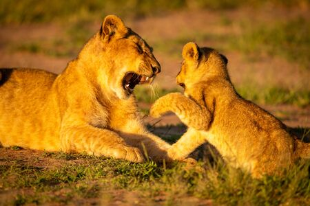 Close-up of two lion cubs play fighting Reklamní fotografie