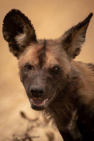 Close-up of wild dog standing eyeing camera
