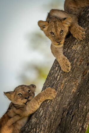 Close-up of two lion cubs on tree