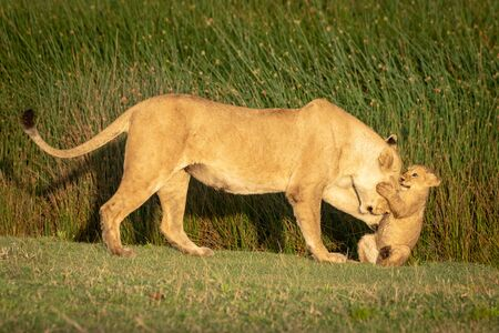 Cub grabs head of lioness in grass