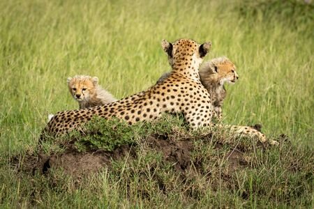 Cubs sit with mother on termite mound Reklamní fotografie