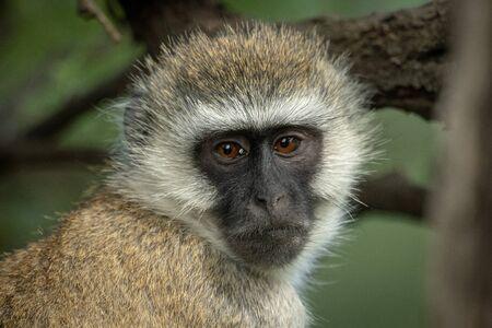Close-up of vervet monkey head and shoulders