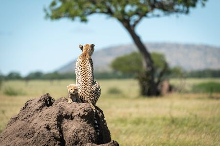 Cub sits behind cheetah on termite mound
