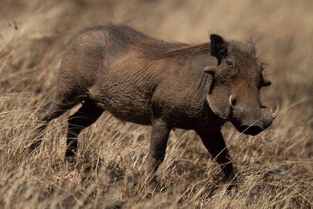 Common warthog eyes camera trotting through grass