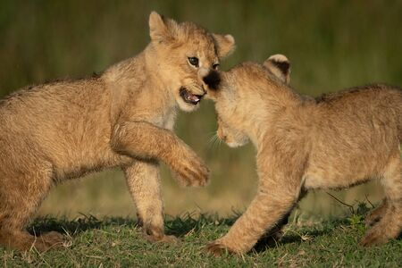 Close-up of two lion cubs playing together Reklamní fotografie
