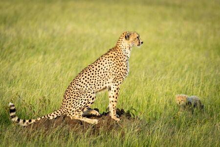 Cub walks towards cheetah sitting on mound