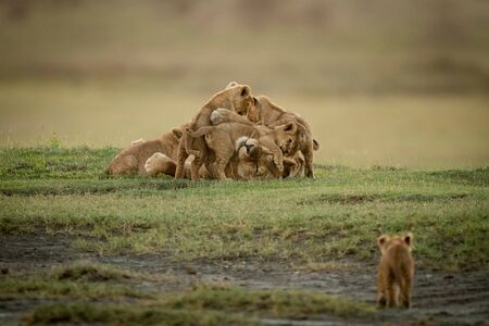 Cub approaches lioness lying covered in cubs Banco de Imagens