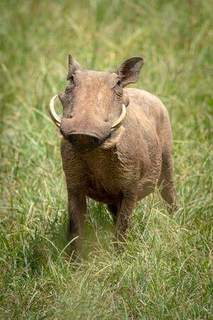 Common warthog stands facing camera in grass Reklamní fotografie