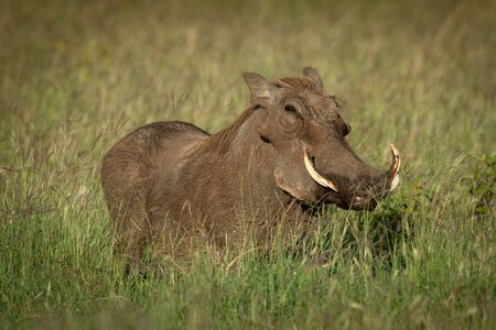 Common warthog stands eyeing camera in grass