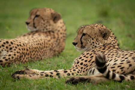 Close-up of two male cheetah lying down