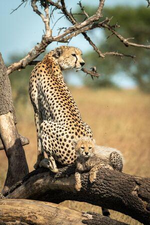 Cub lies behind cheetah on dead branch
