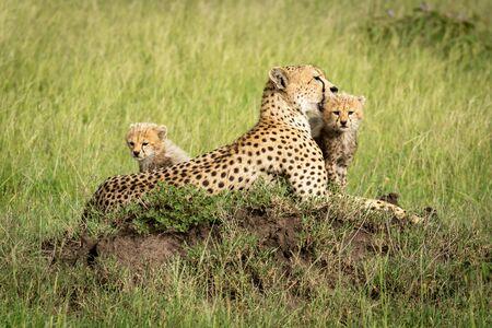 Cubs sit on termite mound by mother Reklamní fotografie
