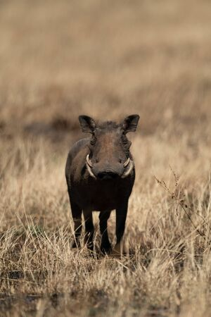 Common warthog eyeing camera from burnt grass