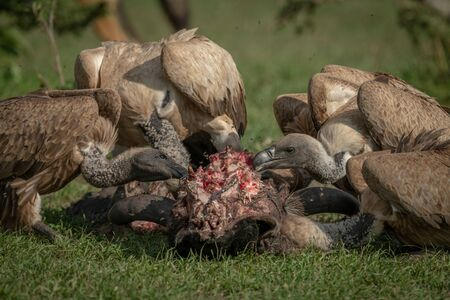 Close-up of white-backed vultures chewing on carcase