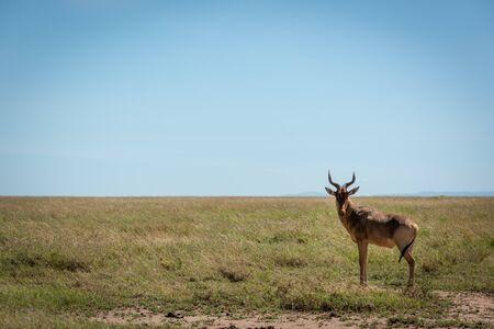 Coke hartebeest stands eyeing camera in savannah Reklamní fotografie