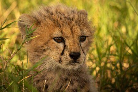 Close-up of young cheetah cub facing right Reklamní fotografie