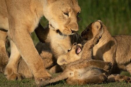Close-up of walking lioness playing with cubs