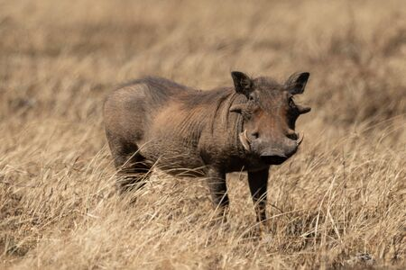 Common warthog eyeing camera from long grass