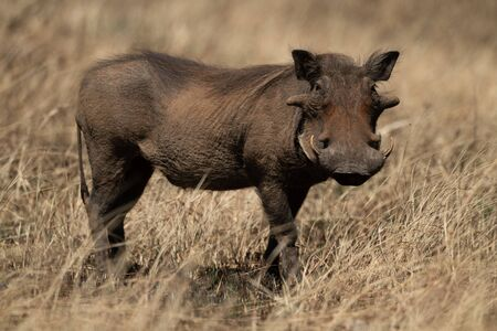 Common warthog eyes camera from long grass