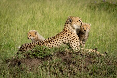 Cubs sit on termite mound with mother