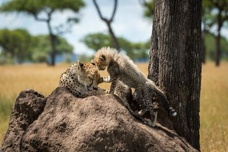 Cub stands on termite mound pawing cheetah
