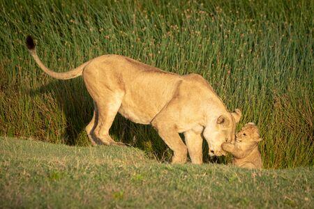Cub puts paw on face of lioness Reklamní fotografie