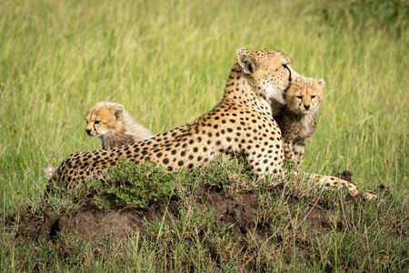 Cubs sit by mother on termite mound